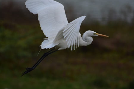 Indian great egret wild bird in flight, India