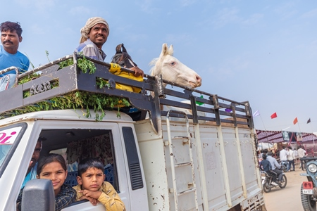 Truck transporting Indian horses at a horse fair inside Pushkar camel fair in Pushkar, Rajasthan in India