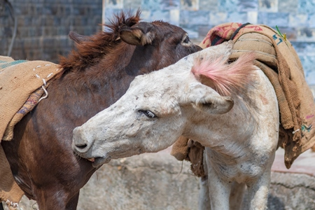 Working Indian donkeys used for animal labour grooming each other in an urban city in Maharashtra in India