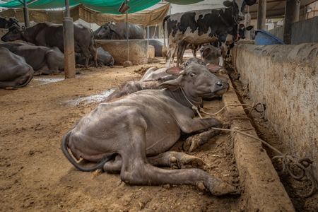 Farmed Indian buffaloes on a dark and crowded urban dairy farm in a city in Maharashtra, India