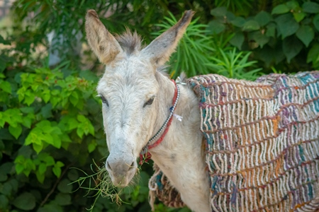 Indian working donkey with blanket in a small town in Rajasthan in India