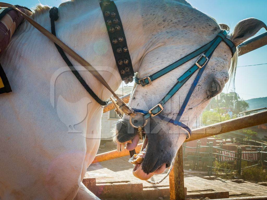 White horse used for tourist horse rides tied up with spiked bit and head in hyperflexion, Panchgani, India, 2017