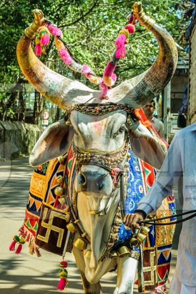 Decorated holy cow for religious festival with man walking on street
