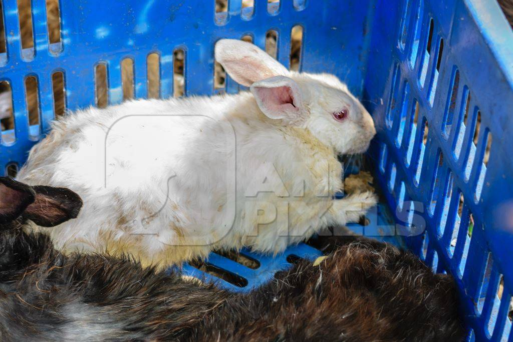 Rabbits in a blue crate on sale for meat at Juna Bazaar market