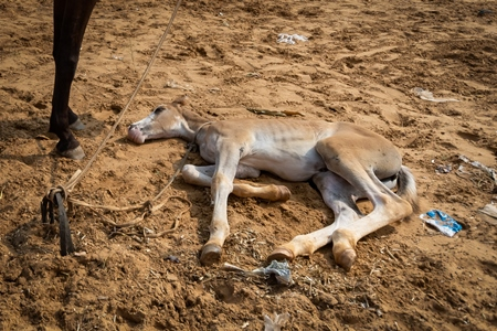 Indian foal lying on the ground on sale at Pushkar camel fair or mela in Rajasthan, India, 2019