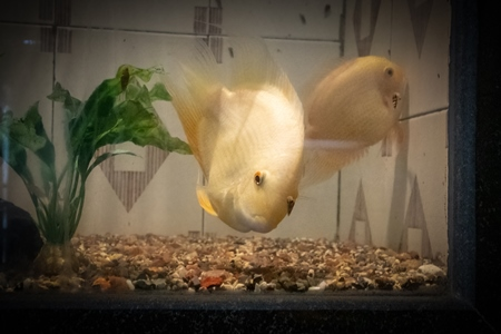 Yellow fish kept in aquarium tanks at Dolphin aquarium mini zoo in Mumbai, India, 2019