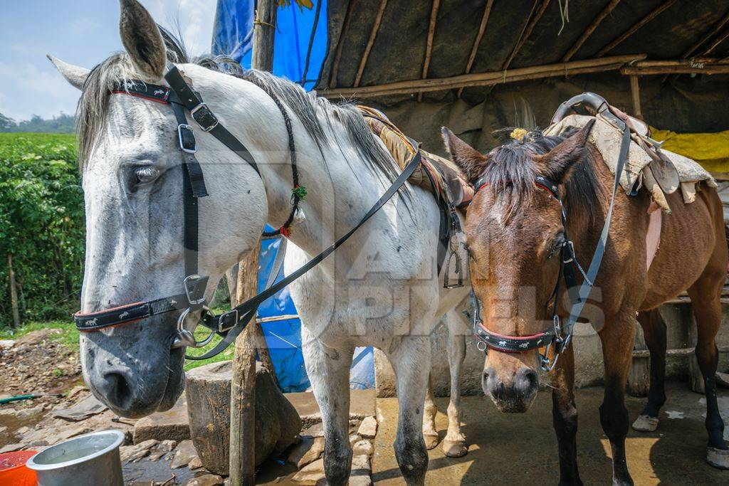 Horses of ponies tied up with bridle and saddle waiting for tourists rides in Kerala