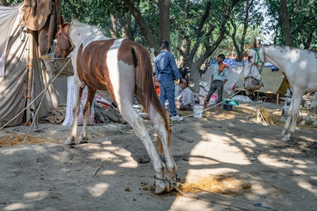 Horses tied up and hobbled at Sonepur horse fair or mela in rural Bihar, India