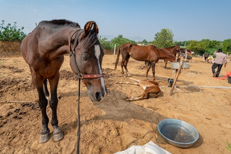 Indian horses on sale at Pushkar camel fair or mela in Rajasthan, India, 2019