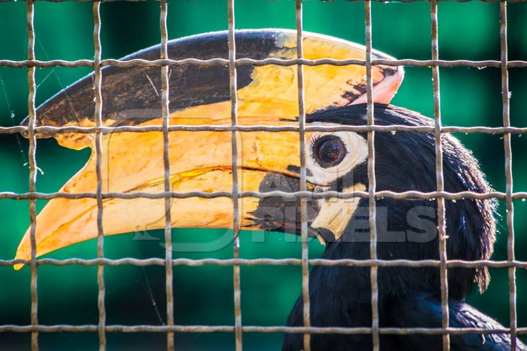 Great Indian hornbill bird behind bars in cage in Mumbai zoo with yellow beak in Byculla zoo