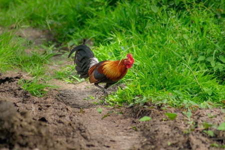 Indian red junglefowl bird in Kaziranga National Park in Assam in India