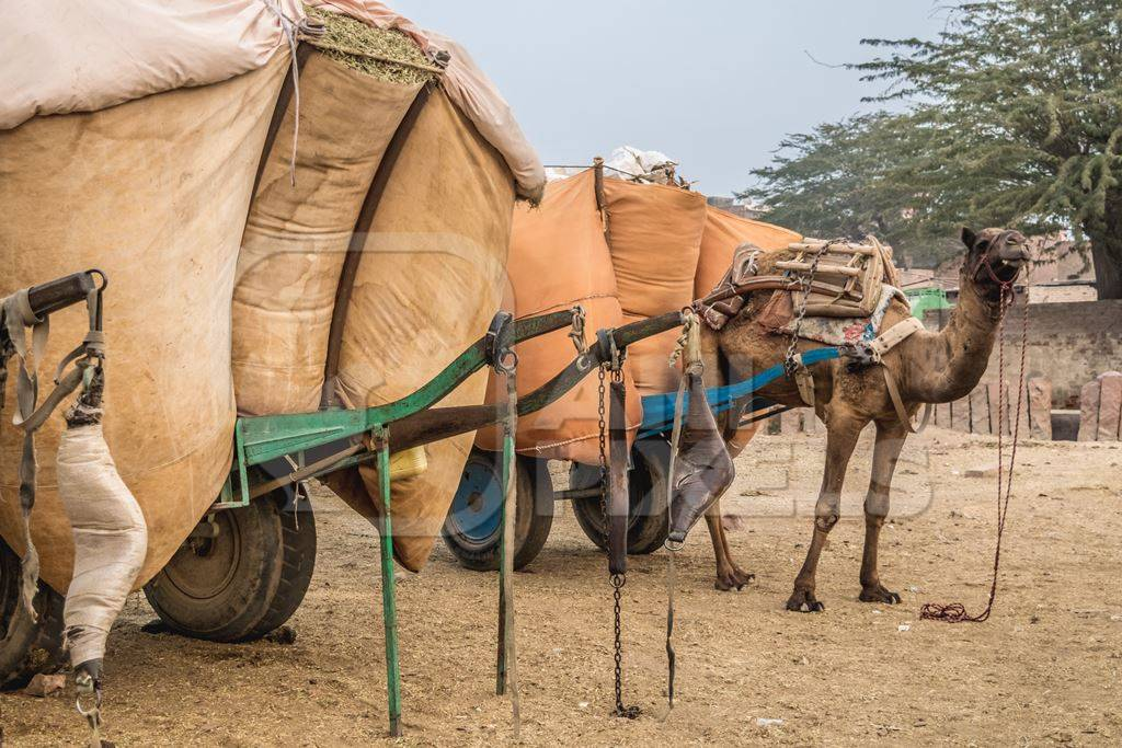 Working camel overloaded with large orange load on cart in Bikaner in Rajasthan