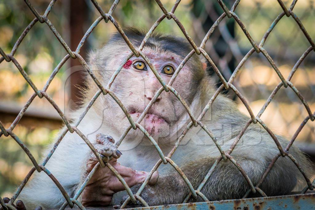 Sad macaque monkey with skin condition looking through fence of cage of Mumbai zoo