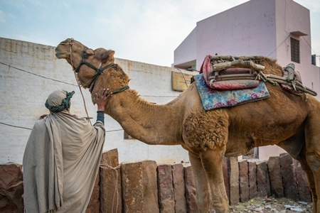 Man with working camel used for animal labour in Rajasthan, India, 2017