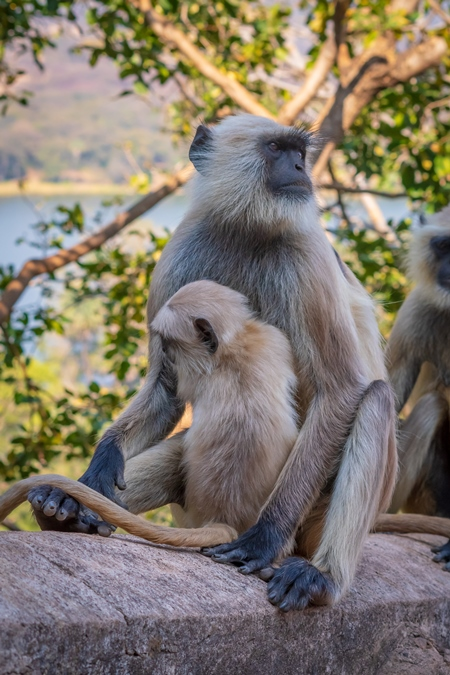 Cute baby Indian gray or hanuman langur monkey with mother in the wild at Ranthambore National Park in Rajasthan in India