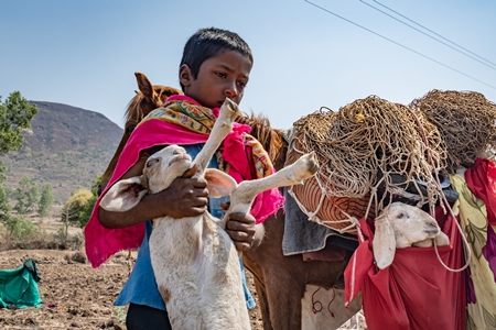 Indian nomad boy carrying baby sheep or lamb with working Indian horse or pony used for animal labour carrying household items including baby goats owned by nomads in rural Maharashtra
