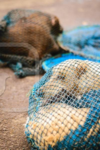 Street dogs caught in net for animal birth control sterilisation operation
