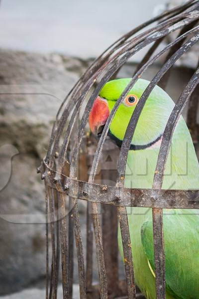 Green Rose Ringed parakeet bird held captive illegally in metal cage - see description below