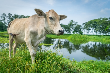 Cow or bullock in green field in rural Assam, India