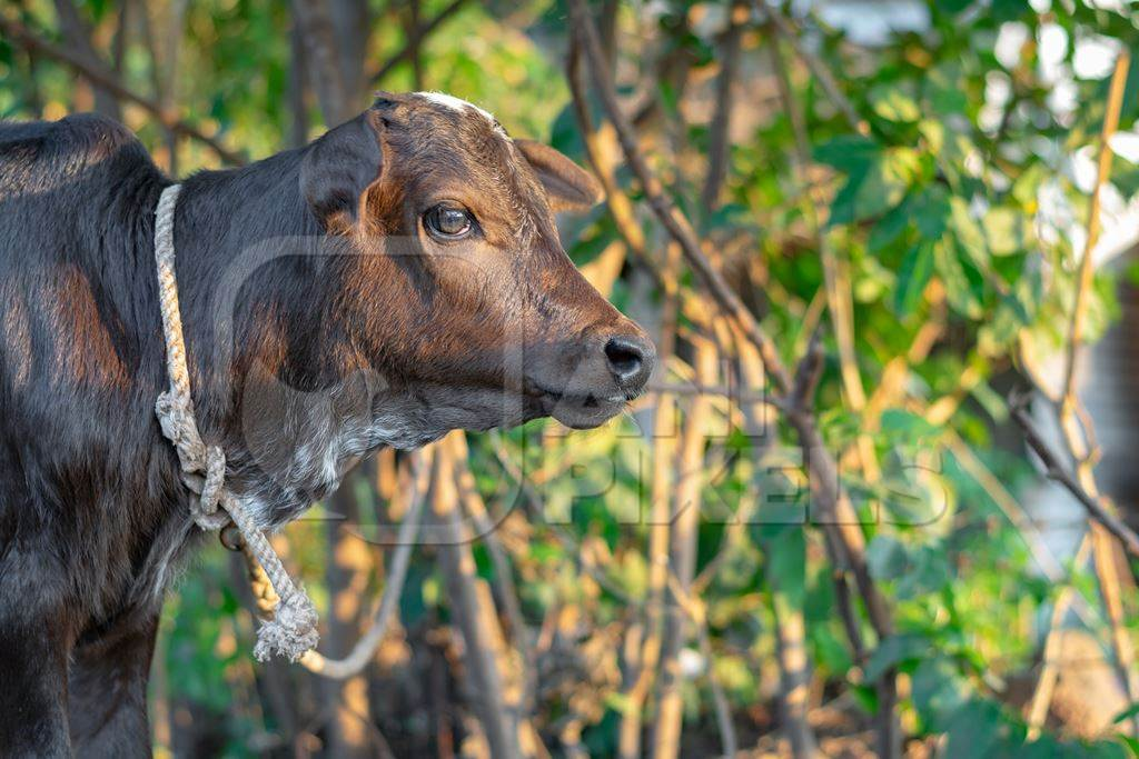 Small brown baby Indian calf tied up in green field, at dairy farm in India
