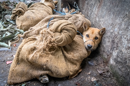 Dogs tied up in sacks waiting to be butchered and sold as meat at a dog market