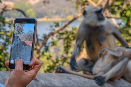 Woman taking mobile phone photo of Indian gray or hanuman langur monkeys in the wild in Rajasthan in India