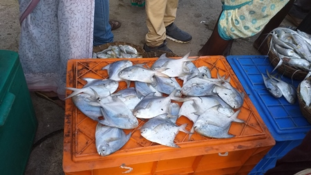 Pomfret or Paplet fish on sale at fish market on the Konkan coast in Maharashtra, India