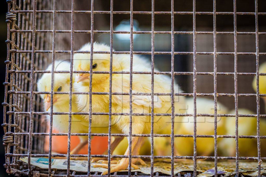 Yellow chicks on sale in cage at Crawford market