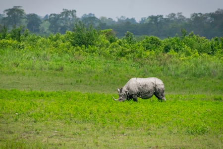 Photo of Indian one-horned rhino in green landscape Kaziranga National Park in Assam in India