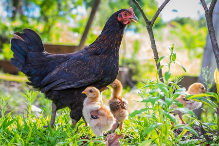 Mother hen with small baby chicks in rural farm