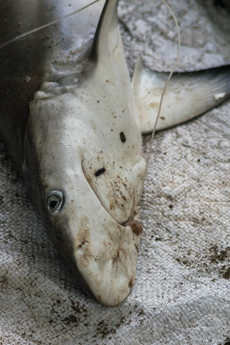 Small shark on sale with hook in mouth at a fish marke