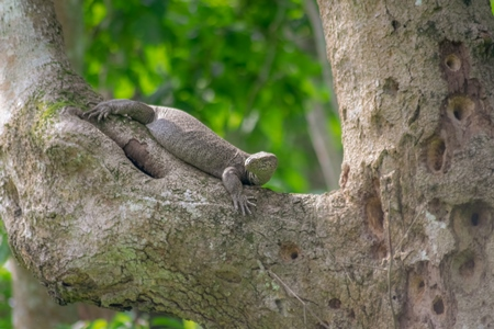 Indian monitor lizard or Bengal monitor in a tree in Kaziranga National Park in Assam in India