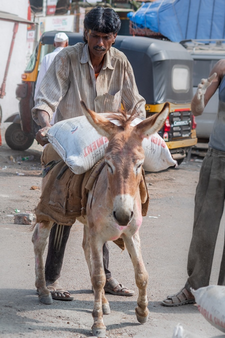Man loading working Indian donkey used for animal labour with heavy sacks of cement in an urban city in Maharashtra in India