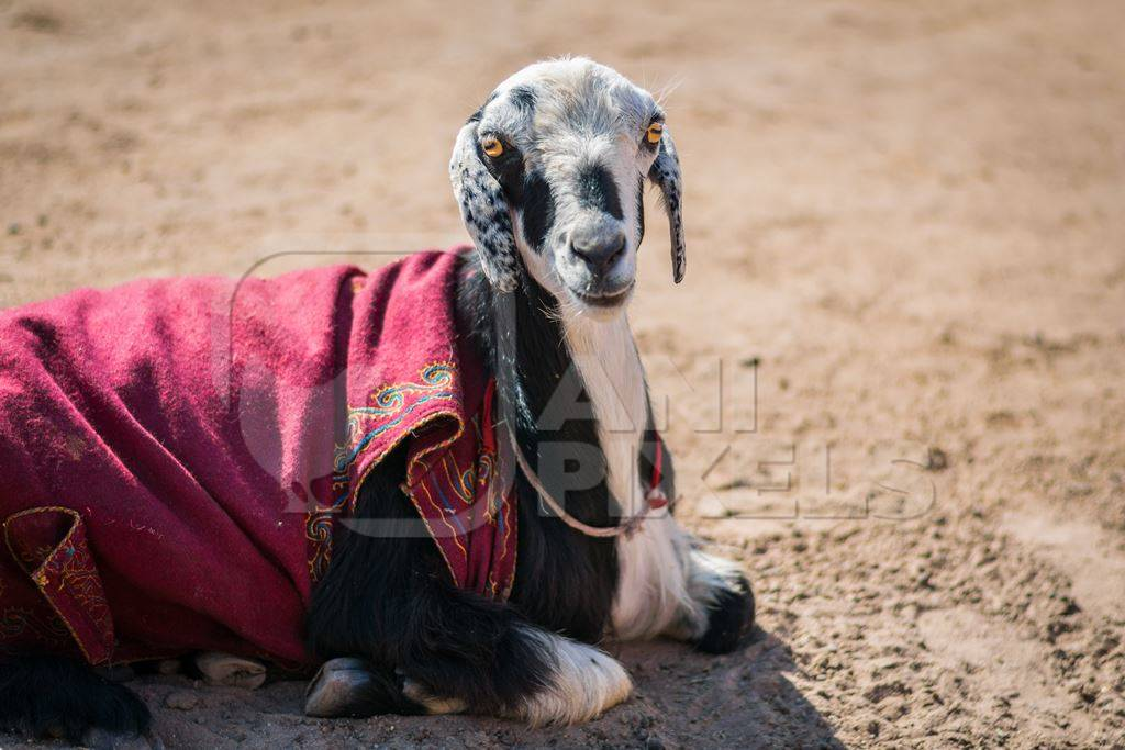 Goat sitting on the ground with brown background