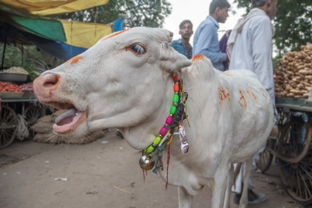 Photo of Indian street cow or bullock calf walking in the road at a market in small town in Rajasthan in India